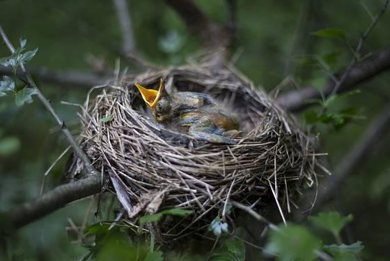 Mládě drozda čeká na rodiče ve hnízdě ukrytém v hlohovém keři