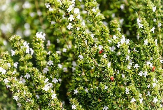 saturejka horská (Satureja montana)