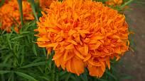 Aksamitník vzpřímený (Tagetes erecta), odrůda Fantastic orange
