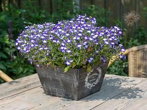Lobelky můžeme pěstovat v nádobách.
