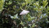 Tak to je on. Tenhle motýlek je zavíječ zimostrázový.