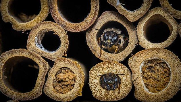 samotářská včela čalounice vyhlíží z hnízda