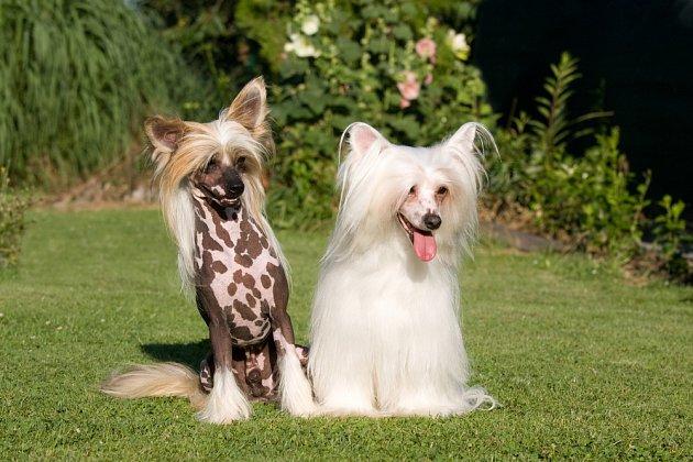 Čínský chocholatý pes se vyskytuje ve dvou variantách.