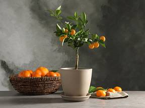 Citrusovým stromům se skvěle daří v prostorných květináčích