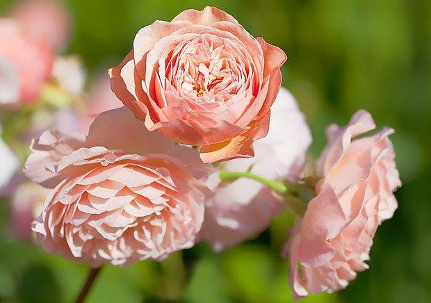Anglická růže Davida Austina Leander