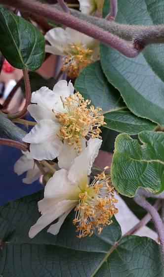Kiwi - samčí květy.