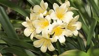 Krémově žlutá barva květů je u klívie méně obvyklá.
