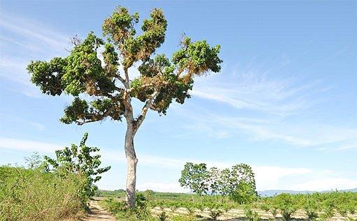 Mangovník indický, jabloň Indie