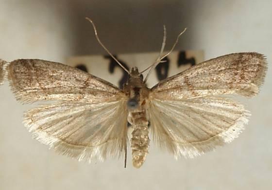 Zavíječ skladištní. Malý motýlek, co umí napáchat velkou škodu.