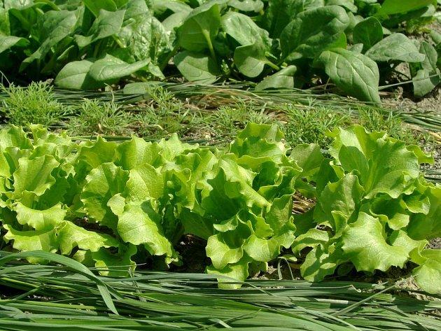 Trávu nastýláme postupně v tenké vrstvě, hodí se i mezi řádky zeleniny