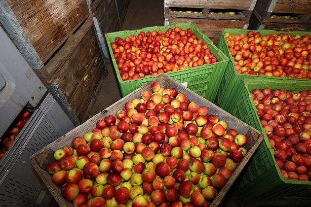 Skladování jablek není jednoduché a vyžaduje pravidelnou kontrolu