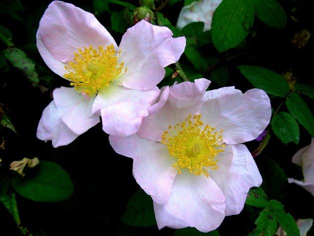 Galská růže sice krásně voní, ale do kytice se nehodí...