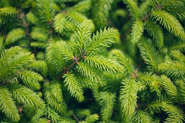 K přípravě vám stačí mladé výhonky z našeho nejrozšířenějšího jehličnatého stromu