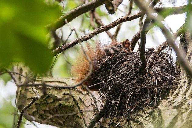Veverčí příbytek ve větvích - v létě je ještě nezateplený.