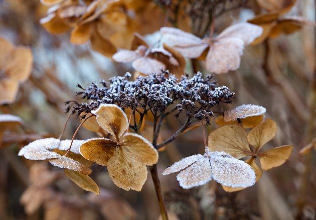 I suché květenství hortenzií je pěkné, ale mráz rostlinám nesvědčí