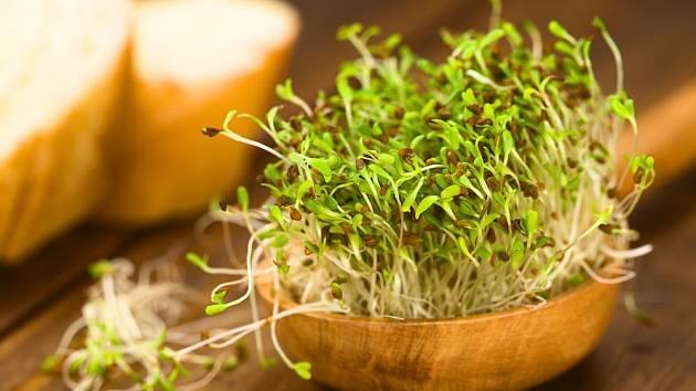 Alfalfa, vojtěška, patří mezi nejlahodnější. Ale je třeba ji konzumovat, teprve až zezelená