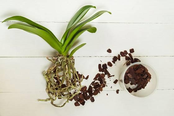 orchidej můrovec (Phalaenopsis), vzdušné kořeny a vzdušný substrát