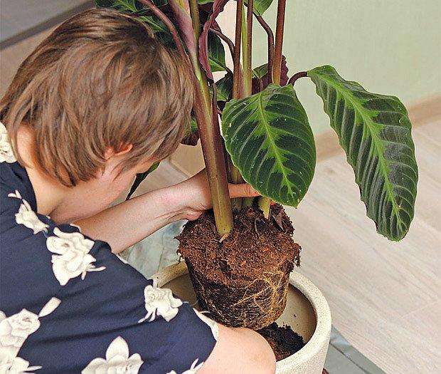 přesazování rostlin