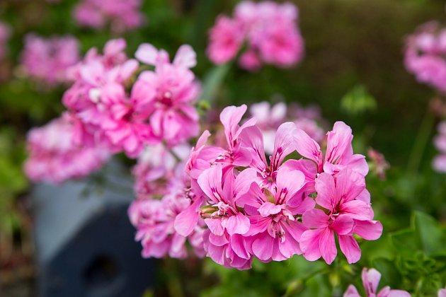 Pelargonium peltatum - jednoduché pěstování, které zvládne i začátečník.