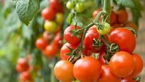 Jedna rostlina vám daruje spoustu rajčat, pokud jí poskytnete péči a výživu