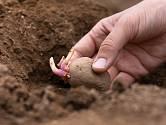 Ruční výsadba brambor