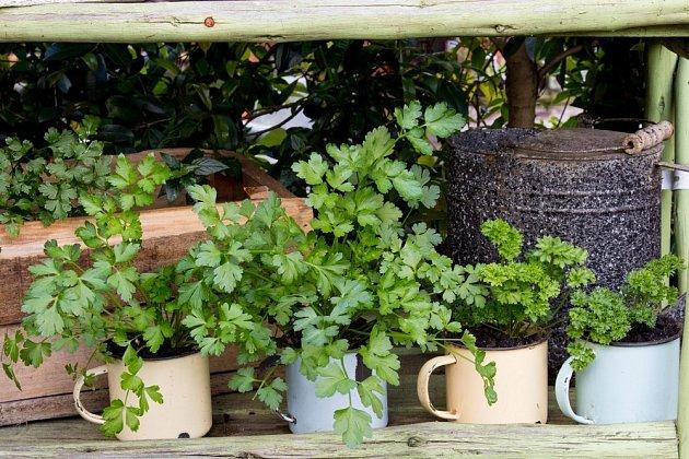 Bylinky můžete pěstovat i ve vysloužilých smaltovaných hrnečkách