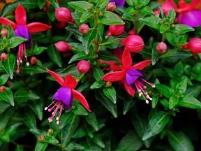 Fuchsie (Fuchsia Magellanica) nabízí velké množství květů.