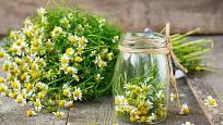 Heřmánek léčí lidi i rostliny