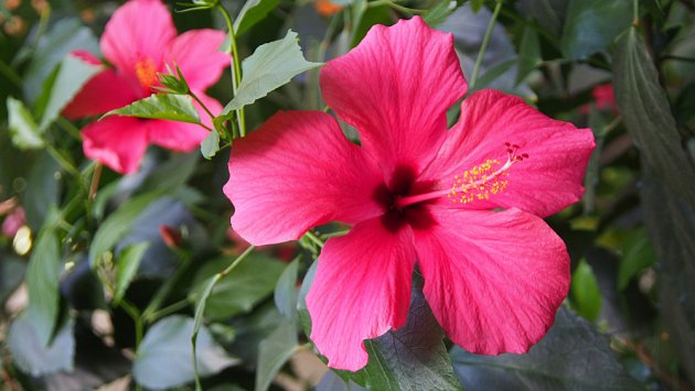 Ibišek čísnský (Hibiscus rosa-chinensis)