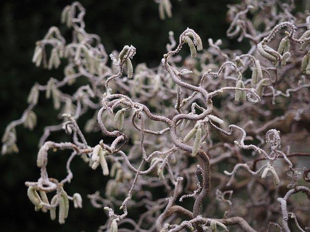 Varieta lísky s kroucenými větvemi