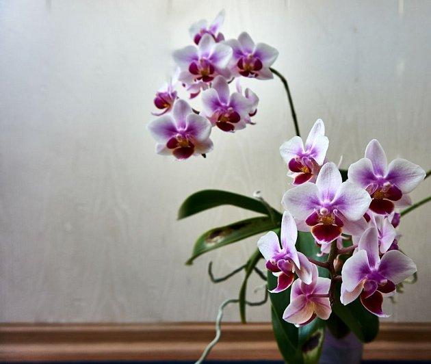 orchidej můrovec (Phalaenopsis)
