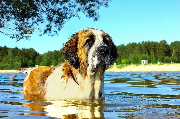 Moskevský vodní pes byl šlechtěn vchovatelské stanici Rudá hvězda pod patronací Rudé armády