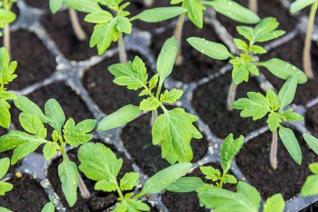 Sazeničky rajčat v sadbovači připravené na přesazení
