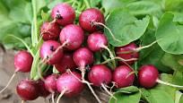 Běžné odrůdy ředkviček v létě vybíhají do květu, celoroční ne