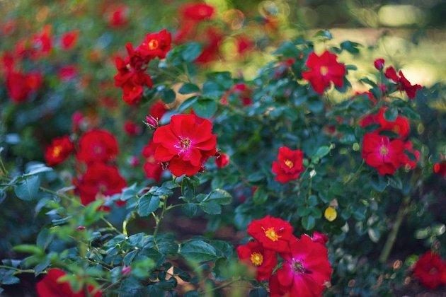 Růže má tisíce tváří, tedy odrůd