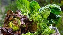 listová zelenina - salát a mangold