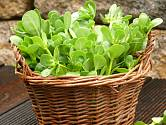 Jedna z nejstarších, dnes už trochu pozapomenutých kulturních zelenin