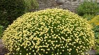 svatolína (Santolina virens)