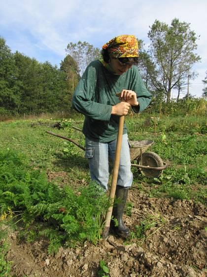 Za sucha si při sklizni mrkve pomůžeme rýčem