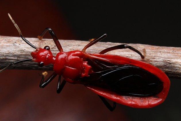 Zákeřnice červená (Rhynocoris iracundus)