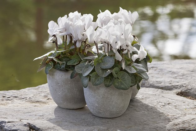 Bíle kvetoucí kultivary působí čistě a něžně