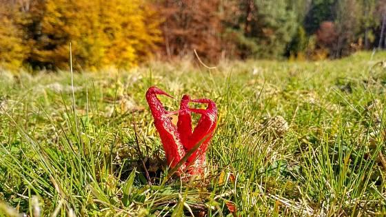 Květnatec Archerův (Clathrus archeri) roste nejen v lesích, ale i na loukách.