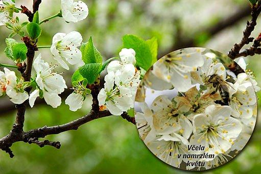 zmrzlé květy