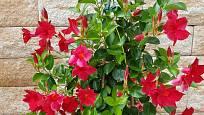 Zvlášť velkou pozornost poutají červeně kvetoucí kultivary mandevilly.
