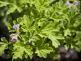 pelargonie vonná (Pelargonium graveolens)