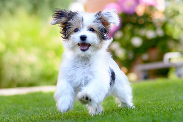 Havanský psík, též havanský bišonek, je malé společenské psí plemeno roztomilého vzhledu.