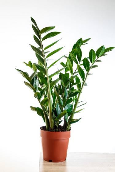 Zamiokulkas (Zamioculcas zamifolia)