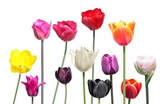 Nabídka barev tulipánů i tvarů jejich květů je veliká.