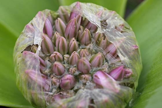 pučící Allium akaka