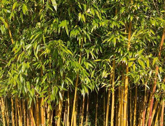 Phyllostachys aureosulcata patří mezi výběžkaté a zimovzdorné bambusy.